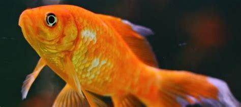 vasca pesce rosso preparare la vasca dei pesci per l inverno