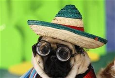 pugs wearing clothes 1000 images about pugs wearing clothes doing stuff on pug a pug and