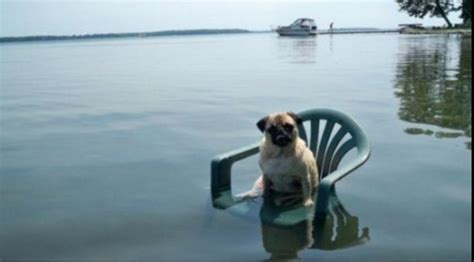 water pug pug in water animals