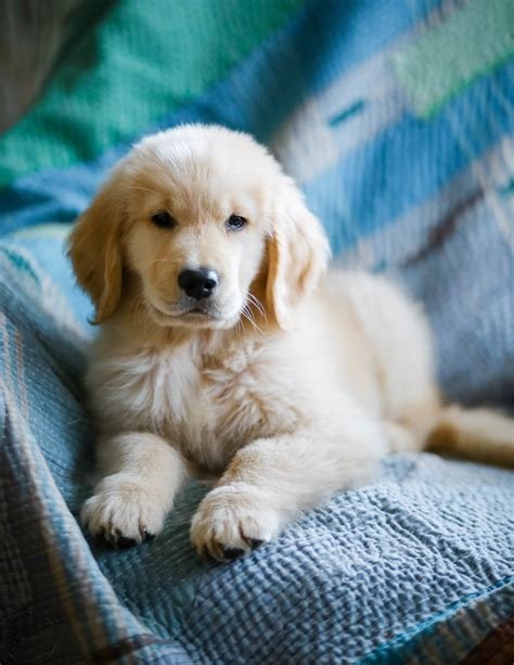 golden retriever puppy stages harold week 9 anise leann photography