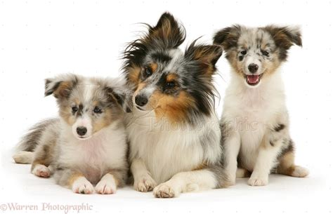 gollie puppies for sale shetland sheepdog puppies for sale