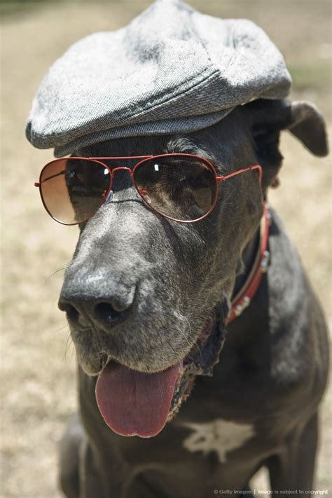 dogs wearing hats great dane wearing hat and sunglasses fashion