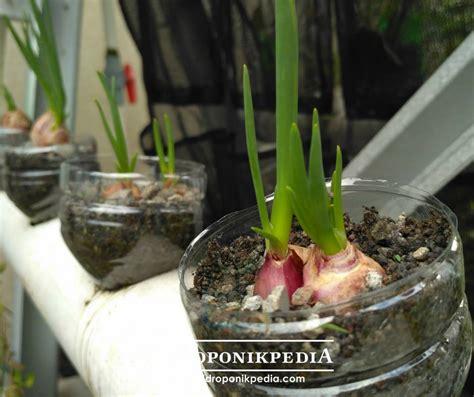 Benih Bawang Merah Hidroponik menanam bawang merah jadi lebih mudah dengan cara ini