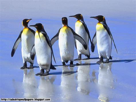 Top Pinhuin pinguin animal desktop wallpapers