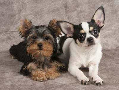 show me a picture of a teacup yorkie teacup yorkies vs teacup chihuahua care daily puppy