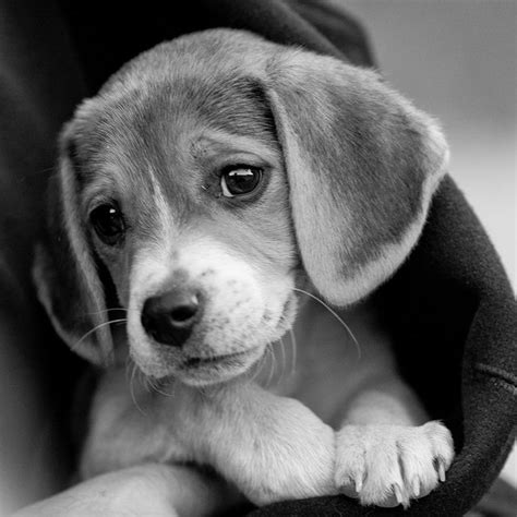 black beagle puppies 10 beagles that will make you giggle i pets