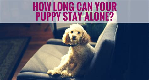a puppy to stay how can your puppy stay alone pupcorner