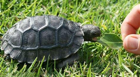 Peliharaan Anakan Kura Kura Baby Turtle kura kura galapagos akhirnya punya anak setelah berusia 90