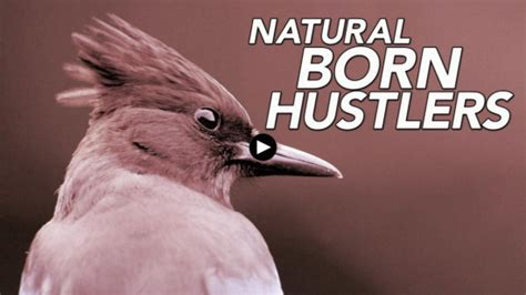 born free documentary pbs arcata steller s jay featured in pbs documentary natural