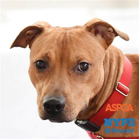 aspca adoptable dogs adoptable dogs nyc adoption center aspca