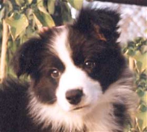 border collie puppies illinois border collie puppies for sale next day pets design bild