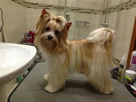 famous people who own yorkie poms 72 best images about biewer german yorkie on pinterest
