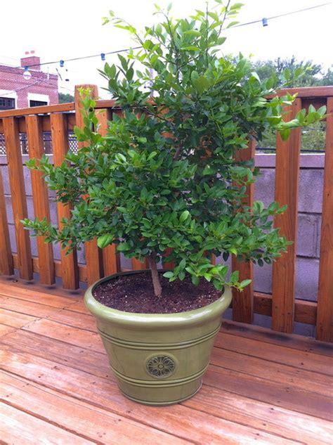 key lime tree won t fruit
