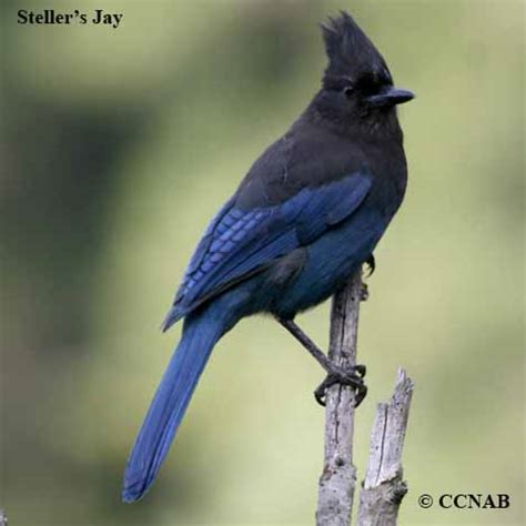 jays north american birds birds of north america