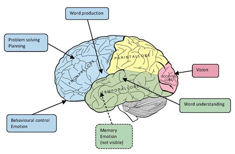 diagram of a brain brain image brain diagram and functions
