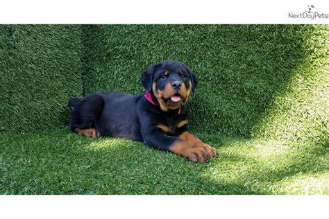 rottweiler puppies san diego rottweiler puppy for sale near san diego california b068a656 5b11