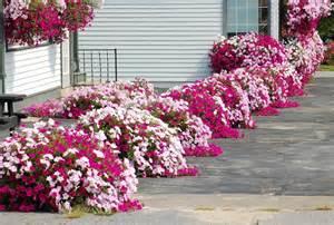 petunia ogrodowa kwiaty roczne