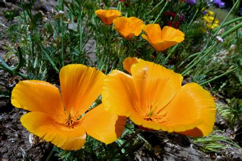 california poppy california poppy on a sunshiny day fables and flora