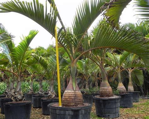 Jual Bibit Pisang Cavendish Jawa Timur jual bibit tanaman unggul