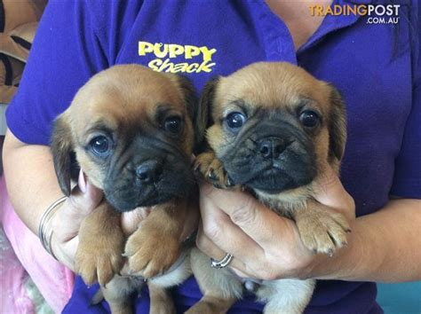 pug puppies for sale trading post pugalier pug x cavalier puppies at puppy shack brisbane for sale in brisbane qld