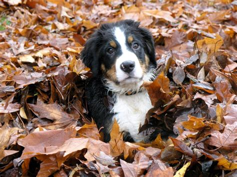 bernese mountain puppies cost bernese mountain information breeds at dogthelove