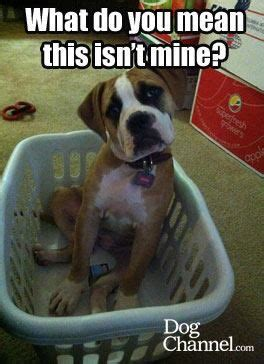 Funny Boxer Dog Memes - funny boxers and baskets on pinterest