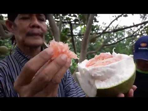 Nature Stek Dewo indahnya berbagi part 11 berrrreebuut jeruk pamelo