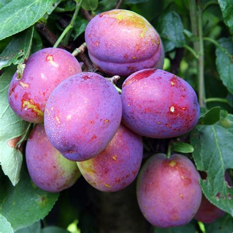 jubilee plum tree buy jubilee plum tree purchase plum fruit trees