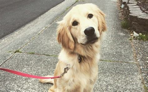 golden retriever cancer cancer in golden retrievers is on the rise it s time to find out why barkpost