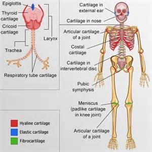 Spine Cushion Your Guide To Understanding The Types Of Cartilage In The