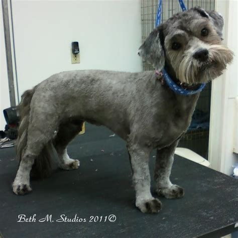havanese grooming styles pictures white havanese pictures breeds picture