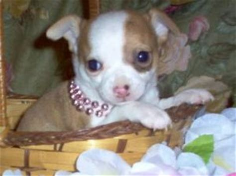 chihuahua puppies for sale ny chihuahua puppies for sale chihuahua puppies for sale in ny