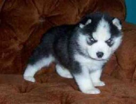 husky puppies for sale in tn pomsky pictures siberian husky puppies washington state breeds picture