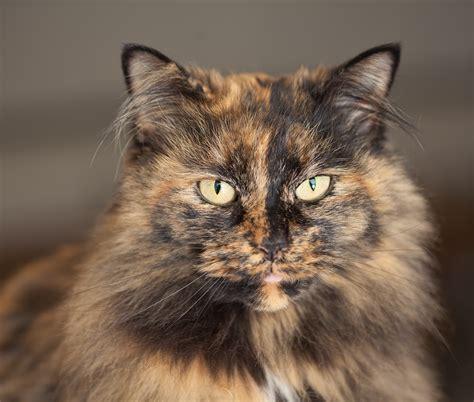 tortoiseshell cat 8224