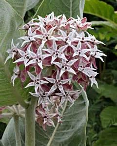 Annie's Annuals & Perennials: Milkweed Mania! Asclepias Cancellata