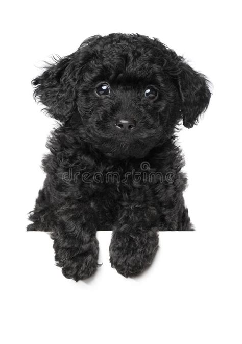 black poodle puppy black poodle puppy stock photo image of domestic standing 25278120