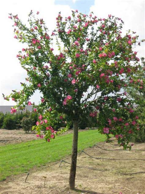 strauch garten winterhart hibiscus syriacus woodbridge garten eibisch
