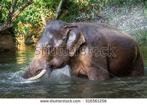 hippo chasing motorboat stock images royalty free images vectors shutterstock