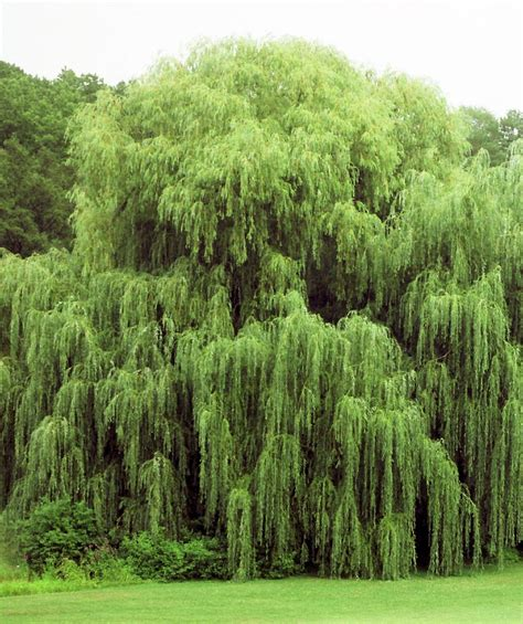 weeping trees niobe golden weeping willow