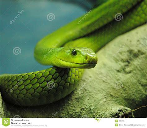 Imagenes De Serpientes Verdes | serpiente verde fotos de archivo libres de regal 237 as