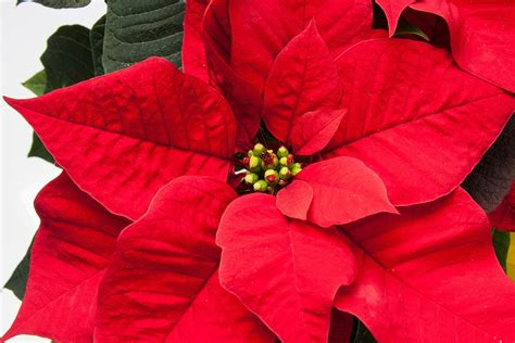 imagenes de nochebuenas blancas happy poinsettia day massey services inc