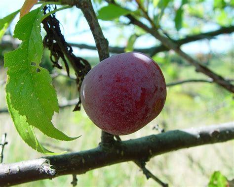 prunus nigra canada plum rosaceae