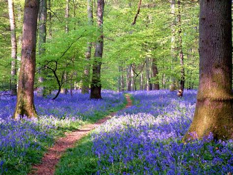 bluebell forest forest bluebell pictures welcome to our website