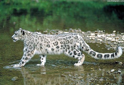 my spirit shapes snow leopard egyptian cobra north