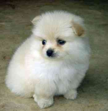 breed teacup pomeranian 301 moved permanently