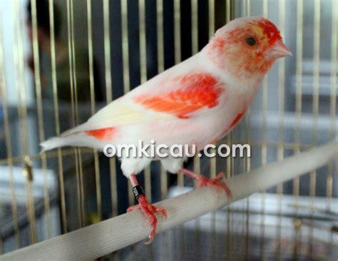 Kaos Burung Kicau Bird Lb 17a banjir kenari dan lb eksotik di mahkota galery om kicau