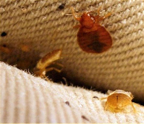 can you smoke bed bugs bed bug inspection detection 171 aardvark pest management pest control