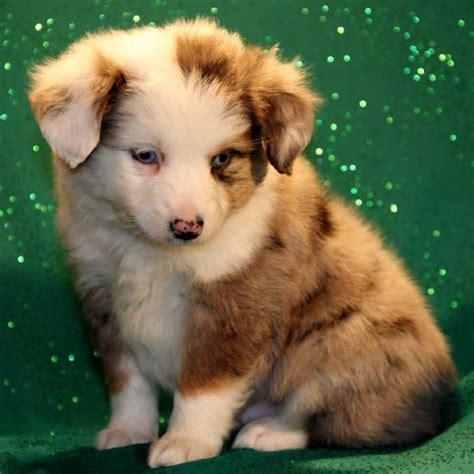 aussie puppies for sale best 25 miniature aussie ideas on mini aussie shepherd australian