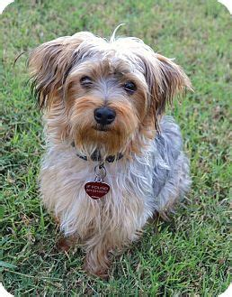 norwich terrier yorkie mix fozzy pending adopted puppy westport ct yorkie terrier norwich