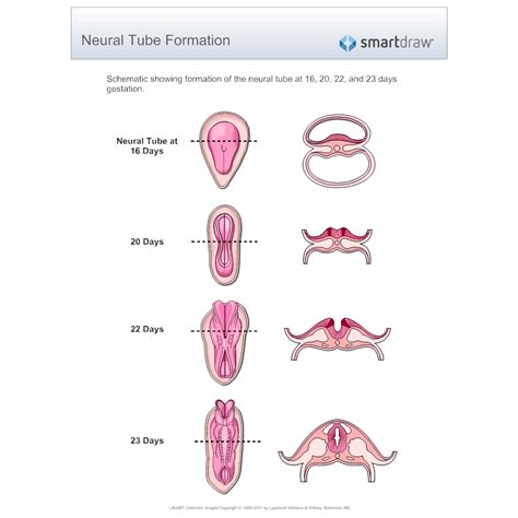 Pattern Formation Of Neural Tube | neural tube formation